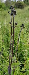 Hairy Wood Sunflower (Helianthus atrorubens) - Stem & Buds