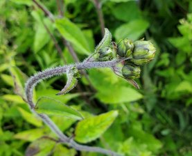 Hairy Wood Sunflower (Helianthus atrorubens) - Buds