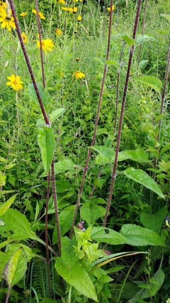 Hairy Wood Sunflower (Helianthus atrorubens) - Stem & Leaves