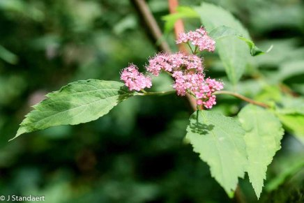 Japanese Spiraea (Spiraea japonica*)