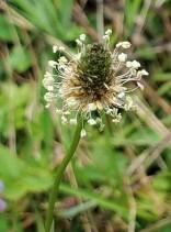 Plantago lanceolata* (Lance-leaved or English Plantain)