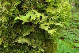 Lungwort Lichen (Lobaria pulmonaria)