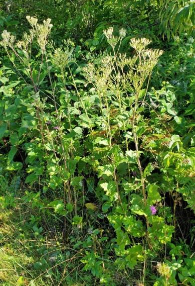 Pale Indian Plantain (Arnoglossum atriplicifolium) Plant