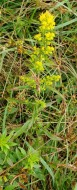 Possibly Mountain Goldenrod (Solidago roanensis)