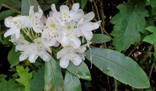 Rosebay; Great Laurel (Rhododendron maximum)