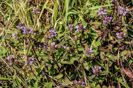 Self Heal (Prunella vulgaris)