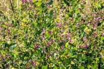 Shrubby Lespedeza (Lespedeza bicolor*)