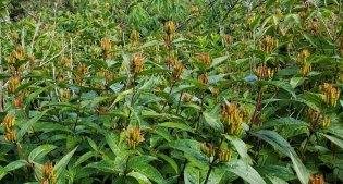 Smooth Southern Bush Honeysuckle (Diervilla sessilifolia) - Fruit