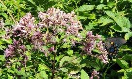 Pipevine Swallowtail Butterfly (Papilio philenor) & a Joe-Pye-Weed (Eutrochium sp.)