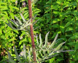 Swamp Thistle (Cirsium muticum) - Stem & Leaves