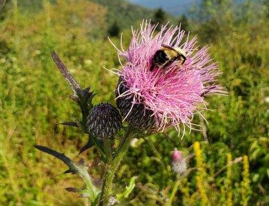 Bee & Swamp Thistle (Cirsium muticum)