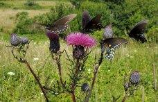Pipevine Swallowtail Butterflies & Swamp Thistle (Cirsium muticum)