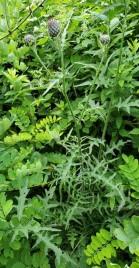 Swamp Thistle (Cirsium muticum) Plant