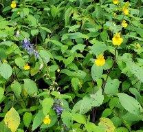 Tall Bellflower (Campanula americana) & Pale Jewel Weed (Impatiens pallida)