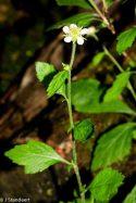 White Avens (Geum canadense)