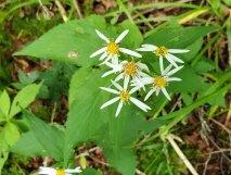 Possibly White Wood Aster (Eurybia divaricata)