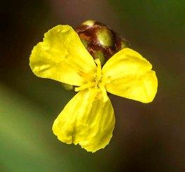 Yellow-eyed Grass (Xyris torta)