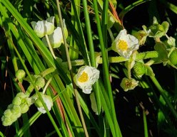 Arrowhead (Sagittaria latifolia) Bloom