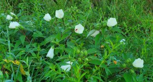 Batch of Crimson-eyed Rose Mallow (Hibiscus moscheutos)