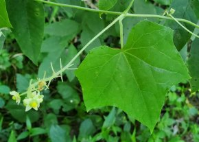 Bur Cucumber (Sicyos angulatus) Leaf