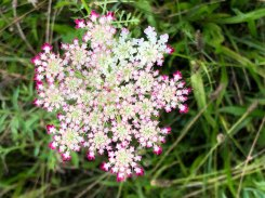 Queen Anne's Lace (Daucus carota*)