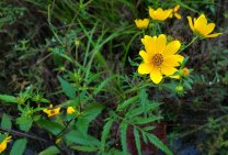 Ditch Daisy (Bidens polylepis) Bloom
