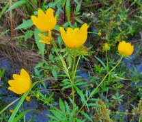 Ditch Daisy (Bidens polylepis) Bracts