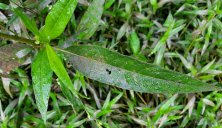 Dotted Water Smartweed (Persicaria punctata) Leaf