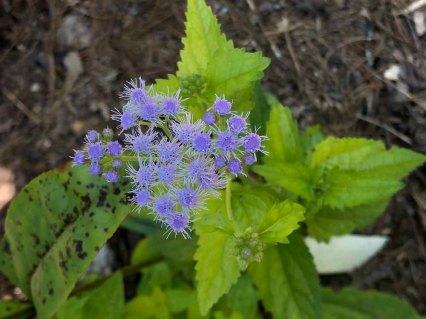 Mistflower; Ageratum (Conoclinium coelestinum)