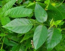 Groundnut (Apios americana) Leaves