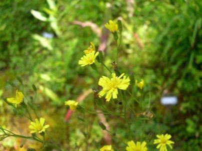 Hairy Hawkweed (Hieracium gronovii)
