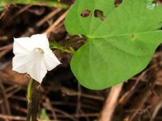 Small White Morning Glory (Ipomoea lacunosa)