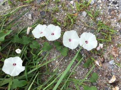 Wild Potato Vine; Man-of-the-Earth (Ipomoea pandurata)