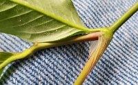 Persicaria longiseta* (Long-bristled Smartweed) Joint Hairs