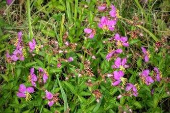 Meadow Beauty (Rhexia virginica)