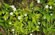 Mix of Balsam Mountain Gentian (Gentiana latidens) & Grass-of-Parnassus (Parnassia asarifolia)