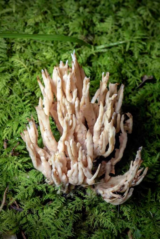 Orange Spindle Coral Fungus (Clavulinopsis aurantio-cinnabarina)
