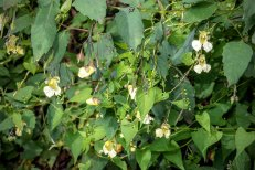 Very Pale Jewel Weed (Impatiens pallida)