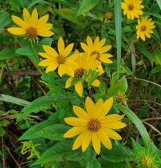Pale-leaved Sunflower (Helianthus strumosus) Blooms