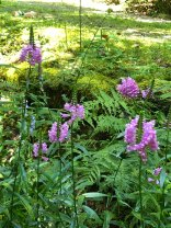 Obedient Plant; False Dragonhead (Physostegia virginiana)