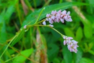 Pink Smartweed (Persicaria pensylvanica) Blooms