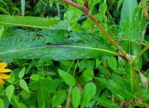 Pink Smartweed (Persicaria pensylvanica) Leaf & Stem