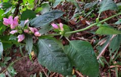 Pink Turtlehead (Chelone lyonii) Plant