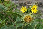 Possibly Gray Sunflower (Helianthus resinosus)