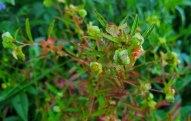 Seedbox (Ludwigia alternifolia) Seed Pod Forming
