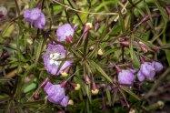 Slenderleaf False Foxglove (Agalinis tenuifolia)