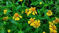 Sneezeweed (Helenium autumnale) Blooms