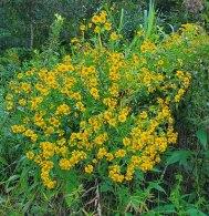 Sneezeweed (Helenium autumnale) Plants