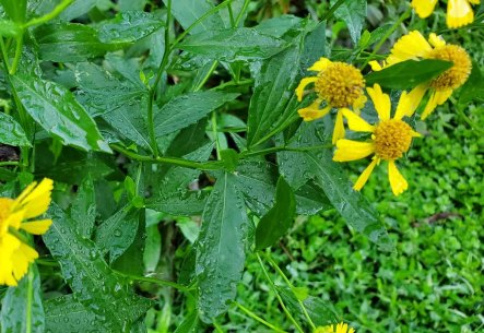 Sneezeweed (Helenium autumnale) Stem & Leaves
