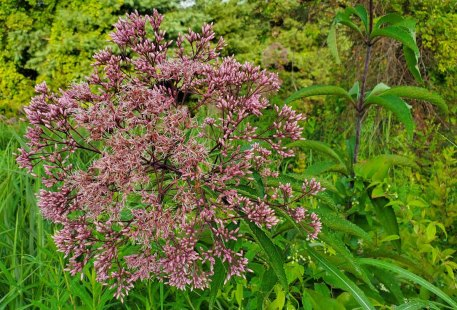 Spotted Joe-Pye-Weed (Eutrochium maculatum) Blooms